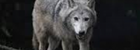 CHAS Lecture 20 Jan 2021 - Wolves in Ireland
